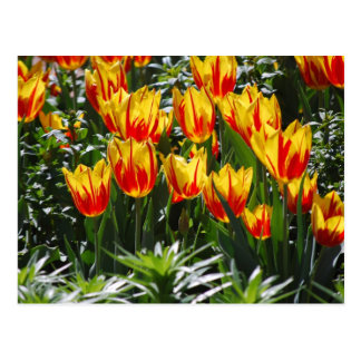 flame tulips postcard