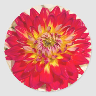 Flaming Red And Yellow Dahlia Sticker