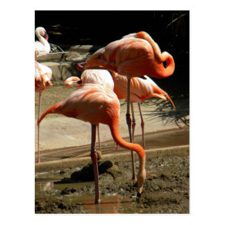 Flamingos 2 postcard