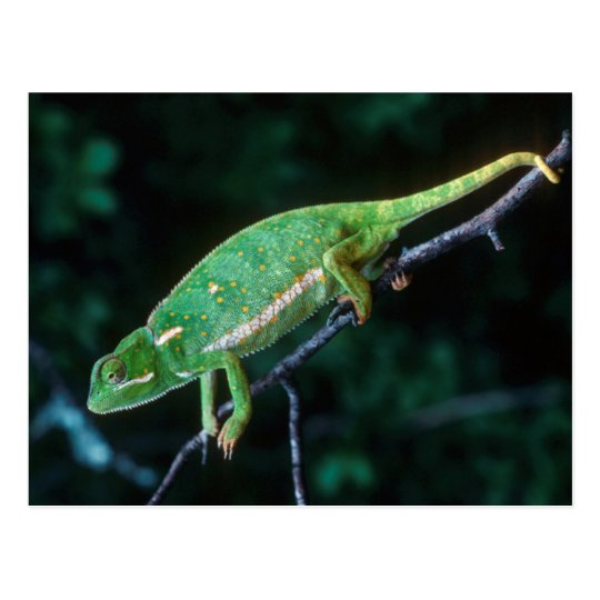 Flap-Necked Chameleon 3 Postcard