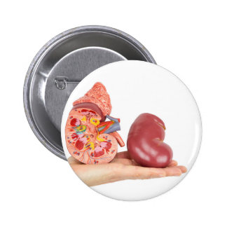 Flat hand showing model human kidney 2 inch round button