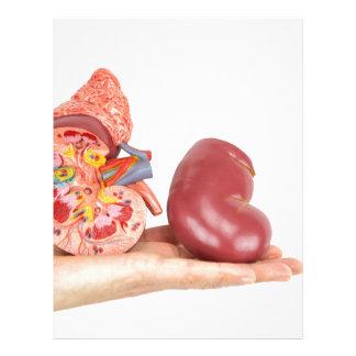 Flat hand showing model human kidney letterhead