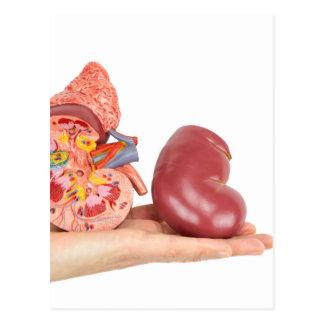 Flat hand showing model human kidney postcard