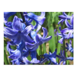 Fleur assez bleue de jardin de jacinthe carte postale