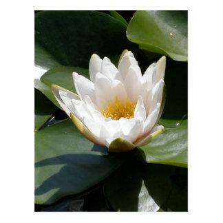 Fleur de Lotus blanche de nénuphar Cartes Postales