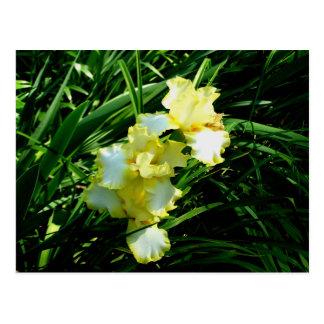 Fleur jaune et blanche d iris carte postale