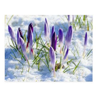Fleur pourpre de crocus de carte dans la neige cartes postales