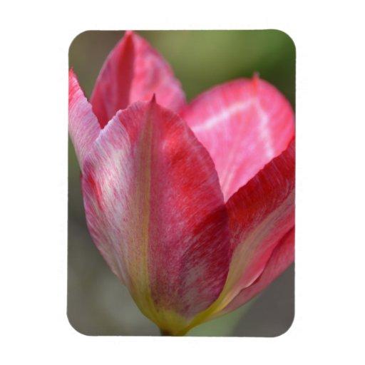 Fleur rose de ressort de tulipe magnets en rectangle