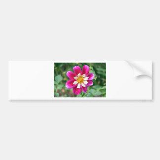 Fleur rose et blanche de dahlia en fleur autocollant de voiture
