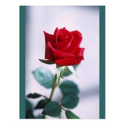 Fleur simple de rose rouge carte postale