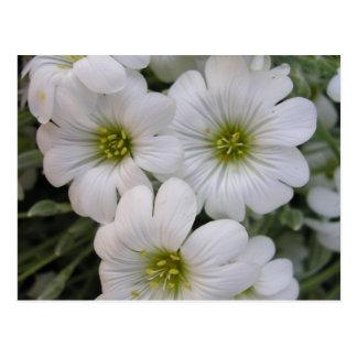 Fleurs blanches postcard
