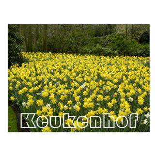 Fleurs chez Keukenhof, jonquilles d'or Cartes Postales