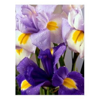 Fleurs d iris carte postale