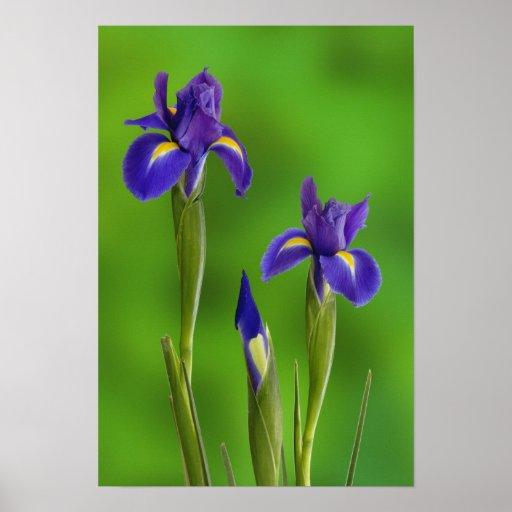 Fleurs d'iris poster