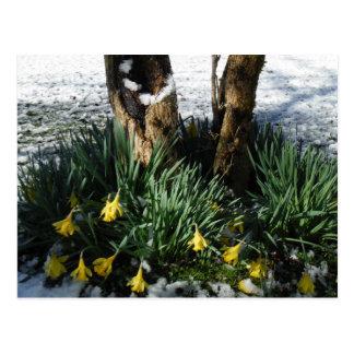 Fleurs jaunes de jonquilles dans la neige cartes postales