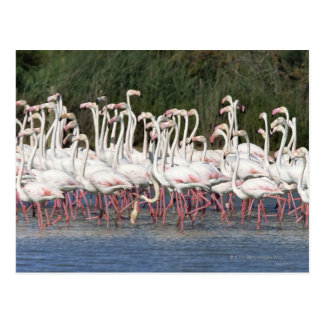Flock of flamingos wading , France Postcard