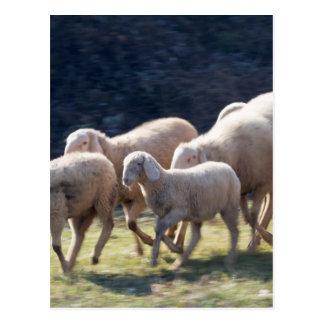 flock of sheep postcard