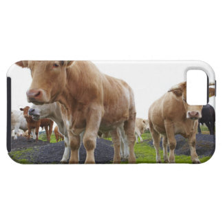 Flock of young white cows in Scottish field iPhone 5 Case