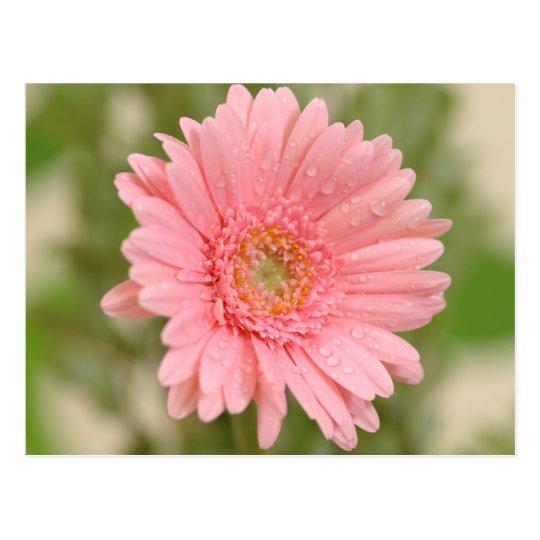 Floral Pink Gerbera Daisy Flower  Hello Love Postcard