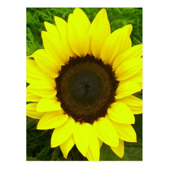 Floral Sunflower Yellow and Green Flowers Postcard