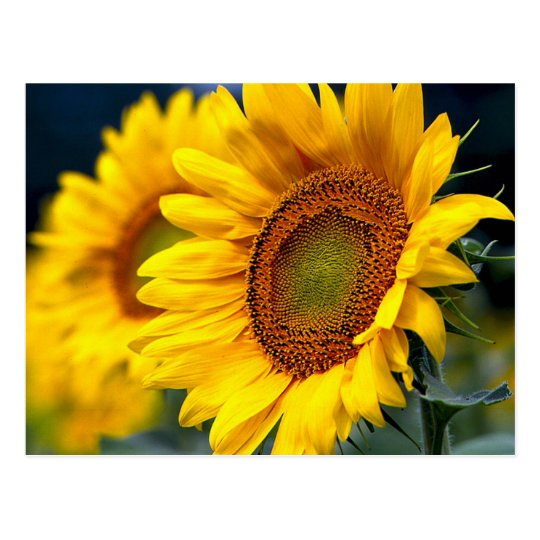 Floral Yellow Sunflowers - Hello, Thinking Of You Postcard