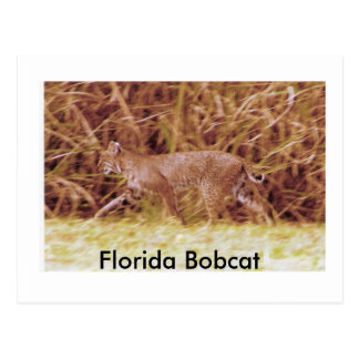 Florida Bobcat Postcard