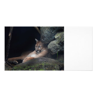 florida cougar sleeping against rock wall photo cards