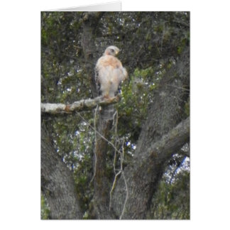 FLORIDA FALCON Note Card