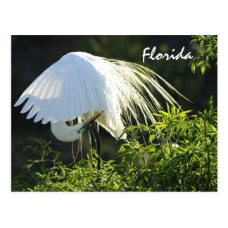 Florida Great White Egret Postcard