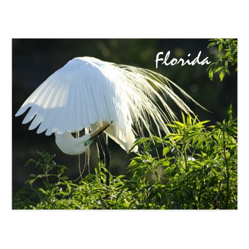 Florida Great White Egret Postcard