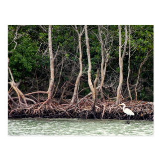Florida Mangroves Postcard
