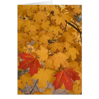 Florida Maple in Autumn Card