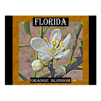 Florida Orange Blossom Postcard