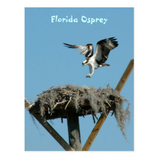 Florida Osprey Postcard