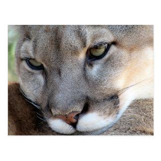 Florida Panther Postcard (4071)