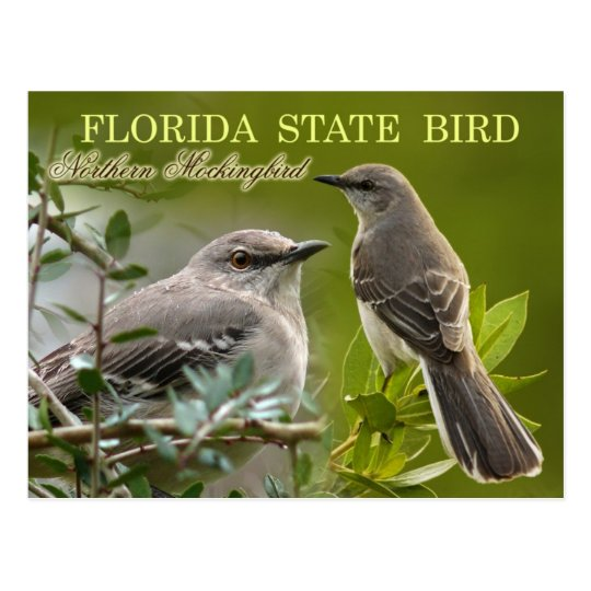 Florida State Bird - Mockingbird Postcard
