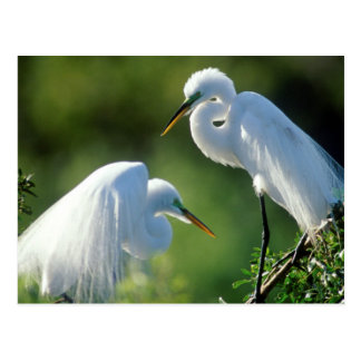Florida, Venice, Audubon Sanctuary, Common Egret Postcard