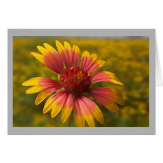 Flower 49 Texas Indian Blanket in the wild Card