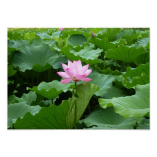 Flower collection: Lotus Poster