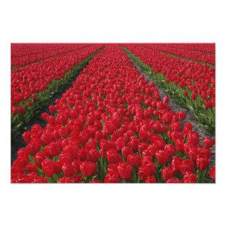Flower field of tulips, Netherlands, Holland Photo Print