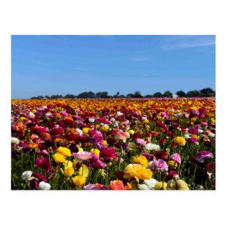 Flower fields in California Postcard
