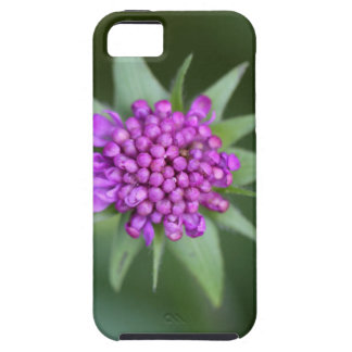 Flower of a Scabiosa lucida iPhone 5 Cover