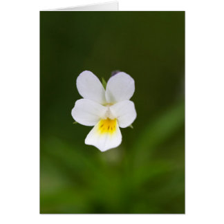Flower of a wild field pansy card