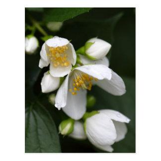 Flower of an English dogwood bush Postcard