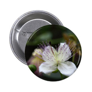 Flower of the caper bush, Capparis spinos. 2 Inch Round Button