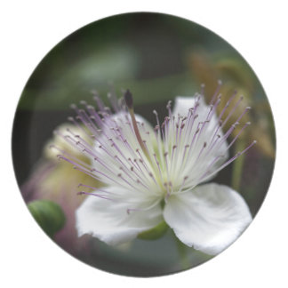 Flower of the caper bush, Capparis spinos. Dinner Plate