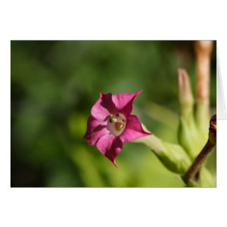 Flower of tobacco (Nicotiana tabacum) Card