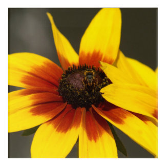 Flower with Hoverfly, Acrylic Print. Acrylic Wall Art