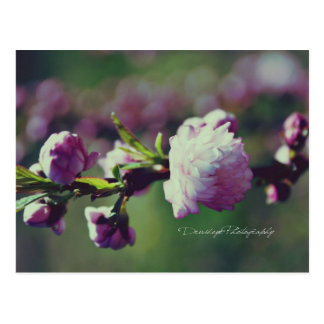 Flowering Almond Postcard
