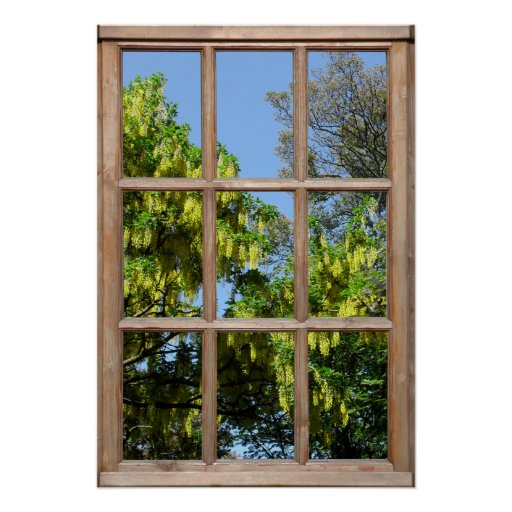 Flowering Laburnum Tree View from a Window Poster